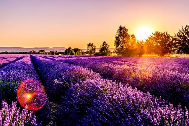 Voyager en France, magnifique champs de lavande